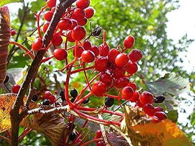 15 Seeds Linden Viburnum, Linden Arrowwood Viburnum dilatatum