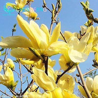 30 Pcs Magnolia Bonsai for Home Garden Rare Tree Bonsai DIY Orchid Plant Tree Flowers Pot Bonsai 2016 Ornamental-Plant Gift for