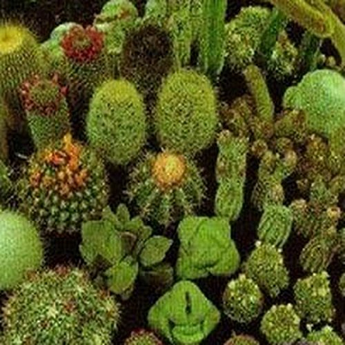 Cheap Cactus Mix- 25 Seeds for sale