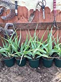 1 Rooted of Aloe arborescens Torch Aloe Succulent/Cactus