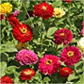 PAckage of 250 Seeds, State Fair Zinnia Mixture (Zinnia Elegans) Open Pollinated Seeds By Seed Needs