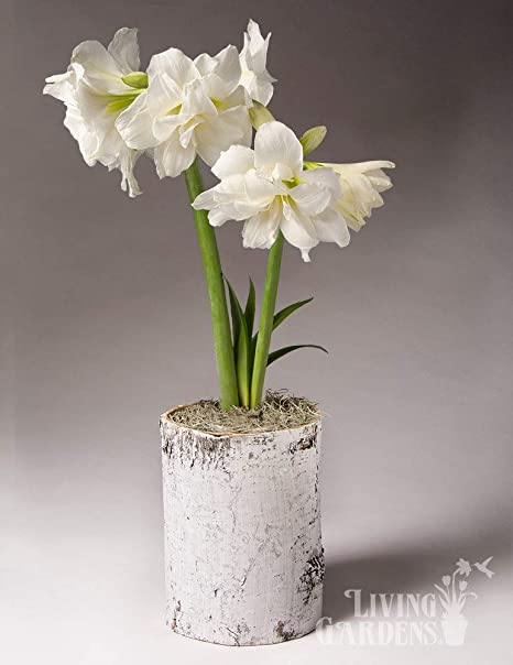Amazon Bulb Garden For Indoor Growing White Magic Potted Bulb