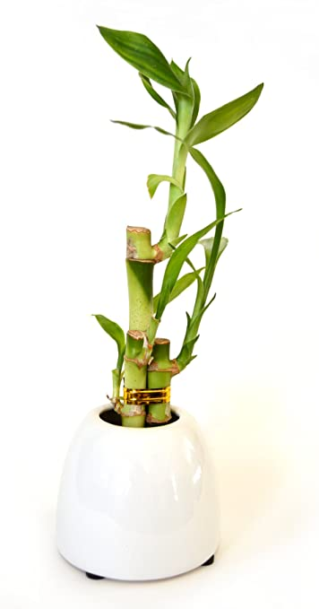 Amazon.com : 9GreenBox - Lucky Bamboo - White Ceramic Pot : Live ...