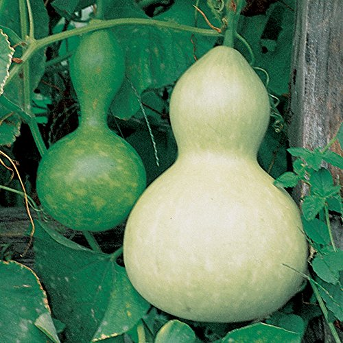 Burpee Ornamental Large Bottle Gourd Heirloom Gourd Seeds 50 seeds