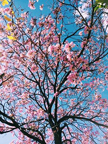 Cherry Blossom Tree ()