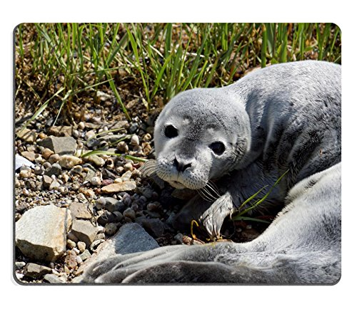 Luxlady Mouse Pad Natural Rubber Mousepad IMAGE ID 31160239 Close up of Baby fur seal resting with open eyes on grass Maine Baby Seal Fur