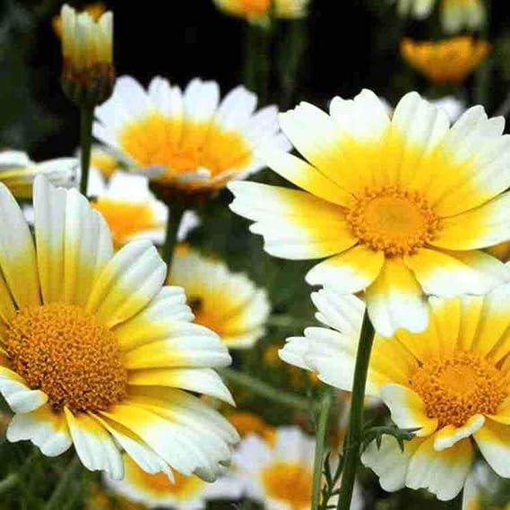 Eastbride perennes Resistentes para balcón,Fácil de Plantar crisantemo Semillas de crisantemo, jardín jardín Plantas verdes-20 Gramos,Flores Semillas Planta Bonsai: Amazon.es: Hogar