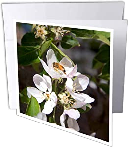 3dRose Greeting Cards, 6 x 6 Inches, Pack of 12, Honey Bee on Apple Blossoms in Idaho (gc_90020_2)