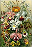 Laminated Orchidae Nature Art Print Poster by Ernst Haeckel 13 x 19in