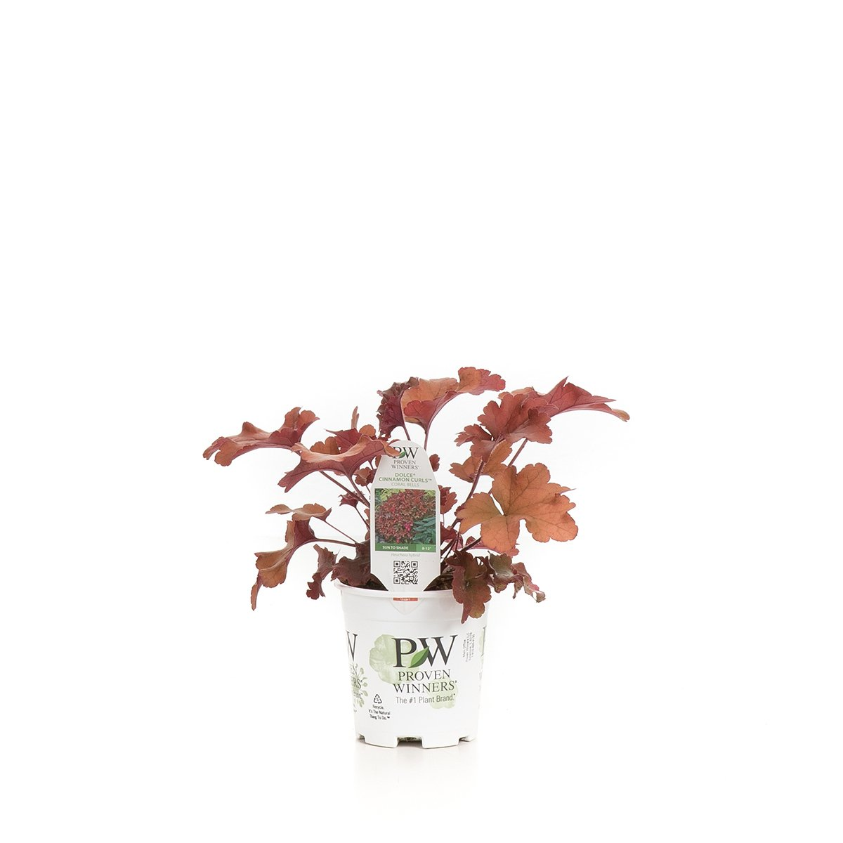 Dolce Cinnamon Curls Coral Bells (Heuchera) Live Plant, Red Foliage, 4.5 in. Quart