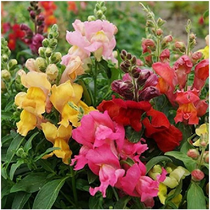David's Garden Seeds Flower Snapdragon Magic Carpet Mix 2245 (Multi) 200 Non-GMO, Open Pollinated Seeds