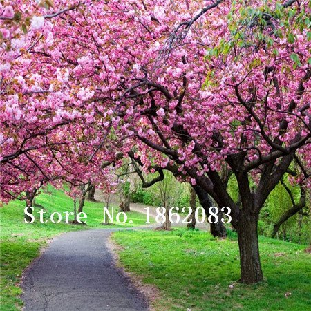 r seeds 100pcs/lot Cherry Blossoms tree Seeds Sakura Seeds,Colour cherry Free Shipping ()