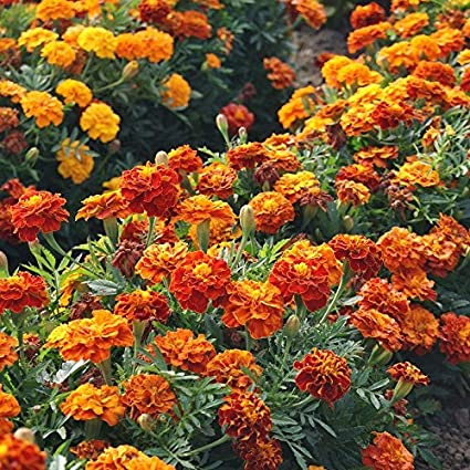 Amazon french marigold seeds sparky mix ounce orange french marigold seeds sparky mix ounce orangeyellow flowers mightylinksfo