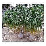 Beaucarnea recurvata - Ponytail Palm - 10 seeds