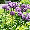 2018 Hot Sale!! Heirloom Allium Giganteum Giant Onion with Purple Flower Seeds