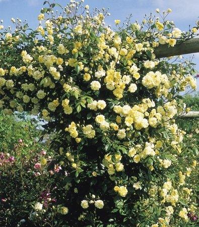 Roses Malvern Hills – Rambler ()