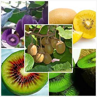 Cheap Bonsai Hot selling 100seeds/bag The king of fruits seeds Kiwi fruit seed bonsai home garden : Garden & Outdoor