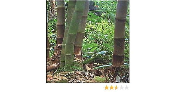 Tropica - Bambú gigante (Dendrocalamus giganteus) - 50 Semillas: Amazon.es: Jardín