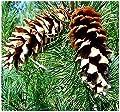Lumos80 (10) Western White Pine - Pinus monticola Tree Seeds - aka Idaho Pine