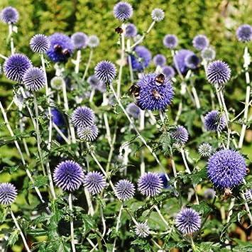 Amazoncom Outsidepride Globe Thistle Flower Seed 500 Seeds