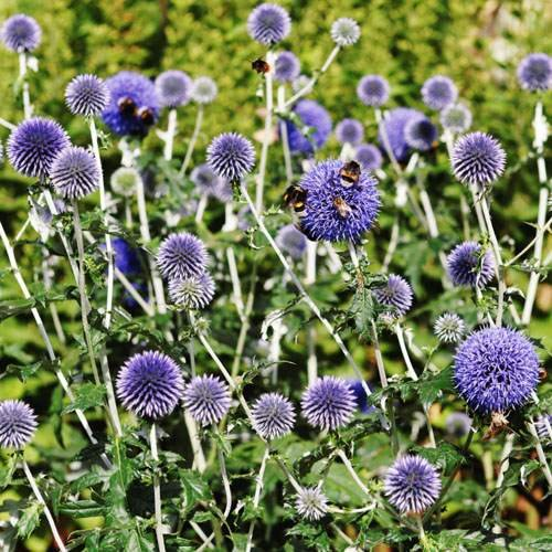 Outsidepride Globe Thistle Flower Seed - 500 Seeds