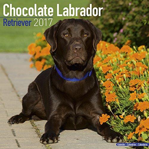Labrador Retriever (Chocolate) Calendar 2017 - Dog Breed Calendar - Wall Calendar 2016-2017