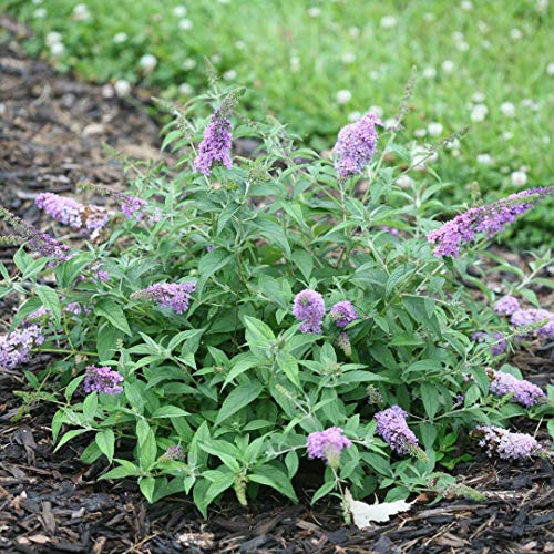 Butterfly Bush, Lo and Behold 'Lilac Chip' Flowering Shrub, Quart-Sized Pot