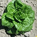 Everwilde Farms - Buttercrunch Lettuce Seeds - Gold Vault