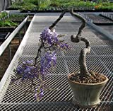 Purple Wisteria Bonsai 5 Pcs Seed Plants Decoration