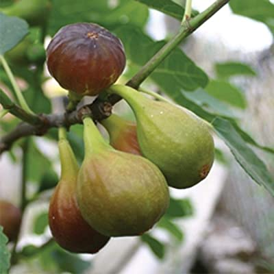 Burpee Chicago Hardy' Fig Fruit, 1 Plant : Garden & Outdoor