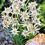 Go Garden New !!!100pcs Rare Edelweiss Plants New Arrival Grass Plants Four Season Balcony Bonsai: Green