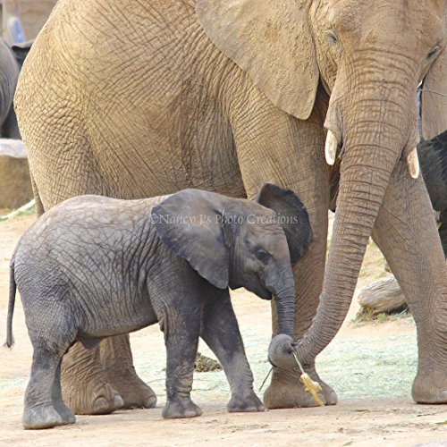 African Elephants Square Photographic Print Mother and Baby Animal Photo Unframed Nursery Wall Art Tan Grey 5x5 8x8 10x10 12x12 16x16 20x20 24x24 by Nancy J's Photo Creations