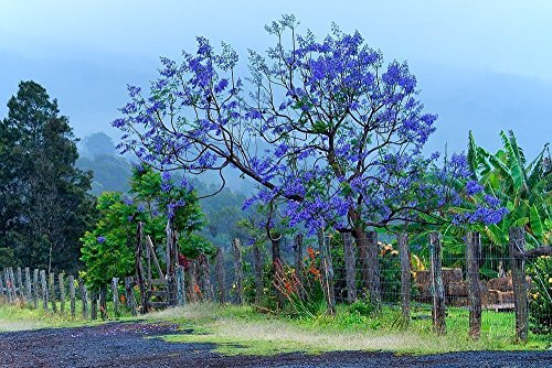 Purple Jacaranda Tree Picture, Country Decor Print, Rustic Nature Wall Art