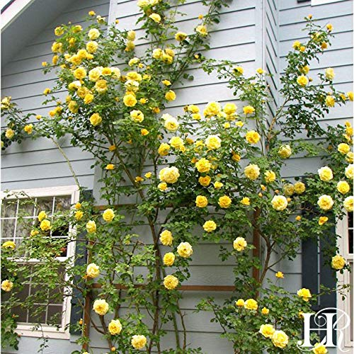 2-Pack Own-Root One Gallon Gold Badge Climbing Roses by Heirloom Roses by Heirloom Roses (Image #2)