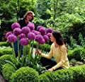 GIANT ONION - 30 Seeds Giant Allium Gig.- Garden Plant - Beautiful Flower Seeds