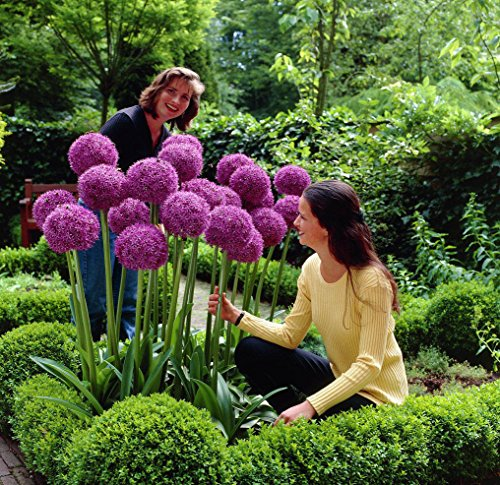 50 pcs Purple Giant Allium Giganteum Seeds 'Globemaster' - Garden Plant - Beautiful Flower Seeds