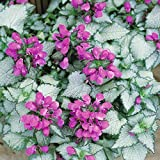 6 Starter Plants of Lamium Maculatum Silver Beacon