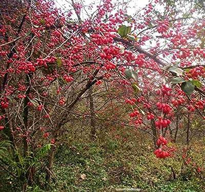 50 Cornus Officinalis Dogwood Deciduous Trees Seeds