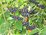 150 Seeds - Black Chokeberry Shrub, Aronia melanocarpa, Seeds (Edible, Fall Color, Hardy)