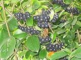 Black Chokeberry Shrub, Aronia melanocarpa, 50 Seeds (Edible, Fall Color, Hardy)