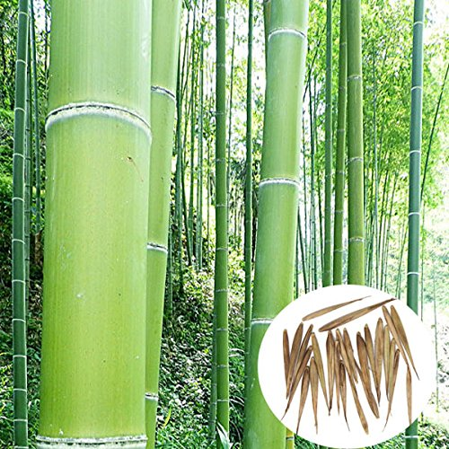 50 Seeds Phyllostachys Edulis 'Jaquith' Moso Bamboo (Hardy Bamboo)