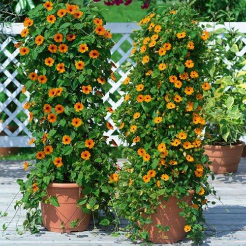 (40+BLACK EYED SUSAN VINE SEEDS Easy to Grow Reseeds Butterflies Thunbergia alata)