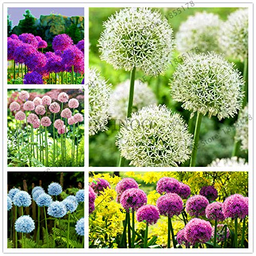 200pcs/bag Purple Giant Allium giganteum, Flower Plants Garden Plant Rare Flower Seeds for Kids: Mix