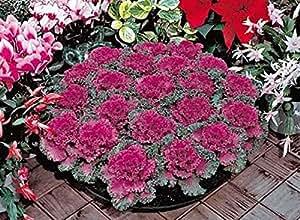 Semillas de flores raras Col ornamental Krupnolistnaya cultivados orgánicamente Flores