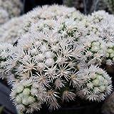Mammillaria gracilis fragilis monstrose Cactus Cacti Succulent Real Live Plant