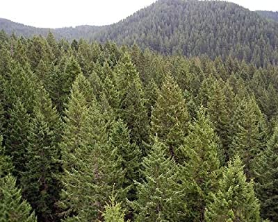 500 Green Douglas Fir Tree Seeds, Pseudotsuga Taxifolia Viridis