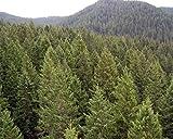 50 Green Douglas Fir Tree Seeds, Pseudotsuga Taxifolia Viridis