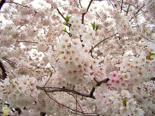 (Yoshino Flowering Cherry Tree - Live Established Rooted - 3 Plants in 2.5