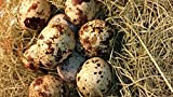 12 Large Fertile Hatching Coturnix Quail Eggs