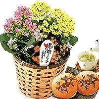 敬老の日 プレゼント 生花カランコエ鉢花と和菓子どら焼きセット